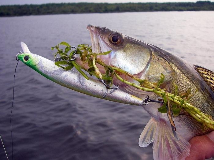 Как ловить судака на спиннинг