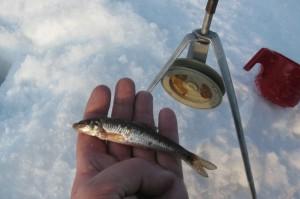 Учимся ловить живца и правильно насаживать на крючок, Советы о рыбалке - как и где ловить рыбу
