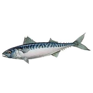 makrel