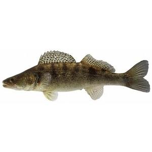 ryba-sudak