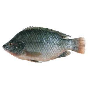 tilapiya