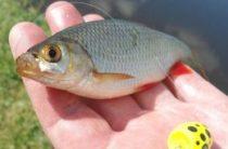 Ловим рыбу на попла поппер