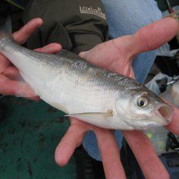 Шамайка: что это за рыба?