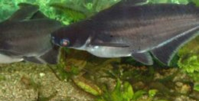 Пангасиус: что это за рыба?