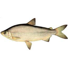 Пелядь: что это за рыба?