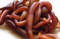 Как правильно насаживать червя?
