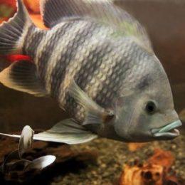 Тилапия: что это за рыба?