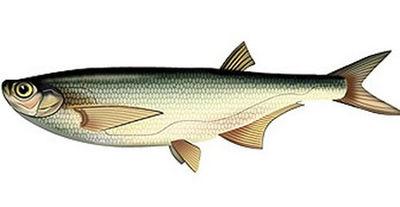 Ловля преднерестовой чехони в апреле - Рыбалка