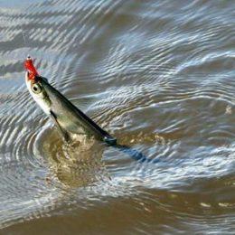 Ловим чехонь на поплавочную удочку