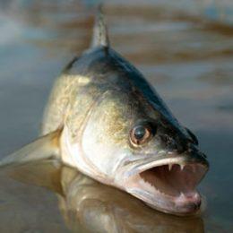 В какую погоду лучше ловить судака?